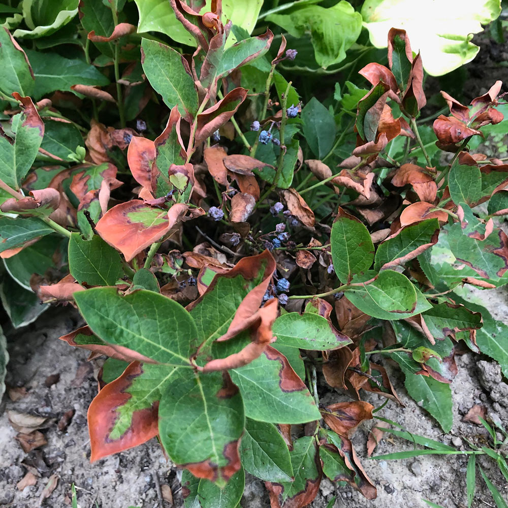 Blueberry bush with dried and brown leaves