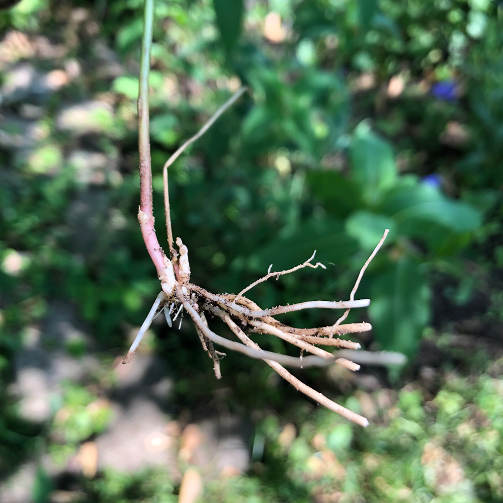 Dog Stangling Vine Root