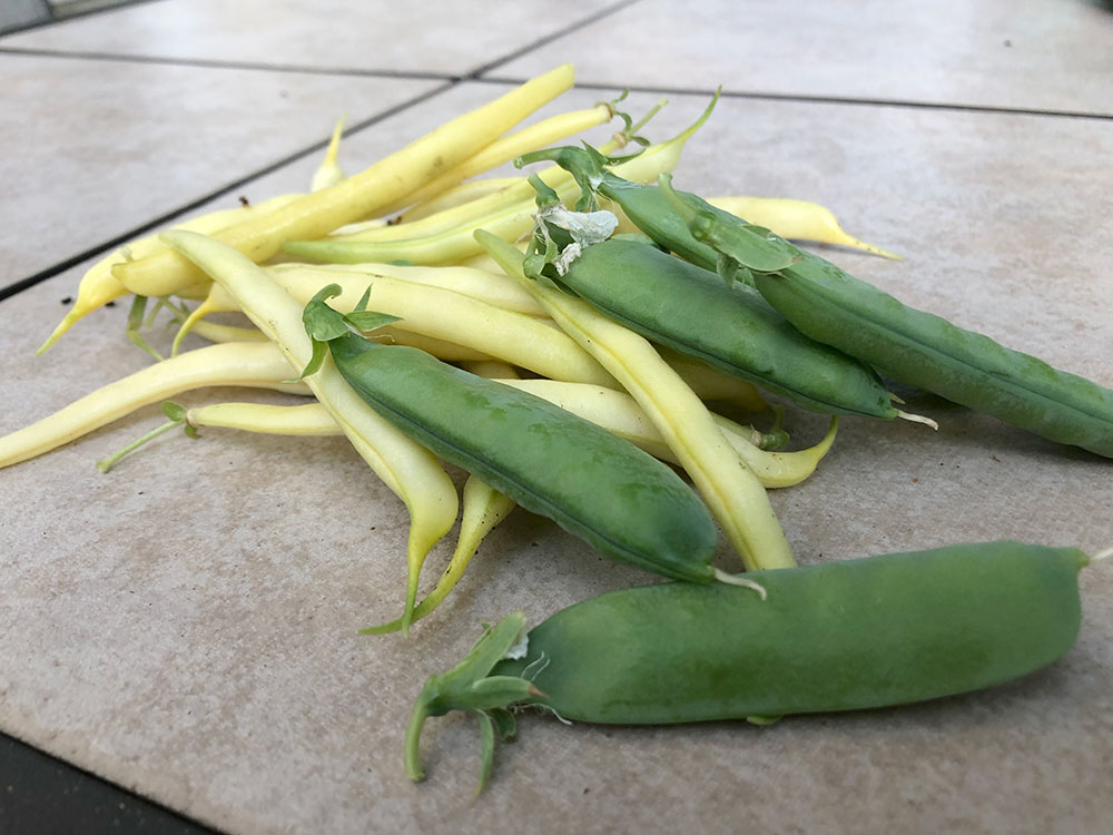 Harvest of a few yellow beans and peas