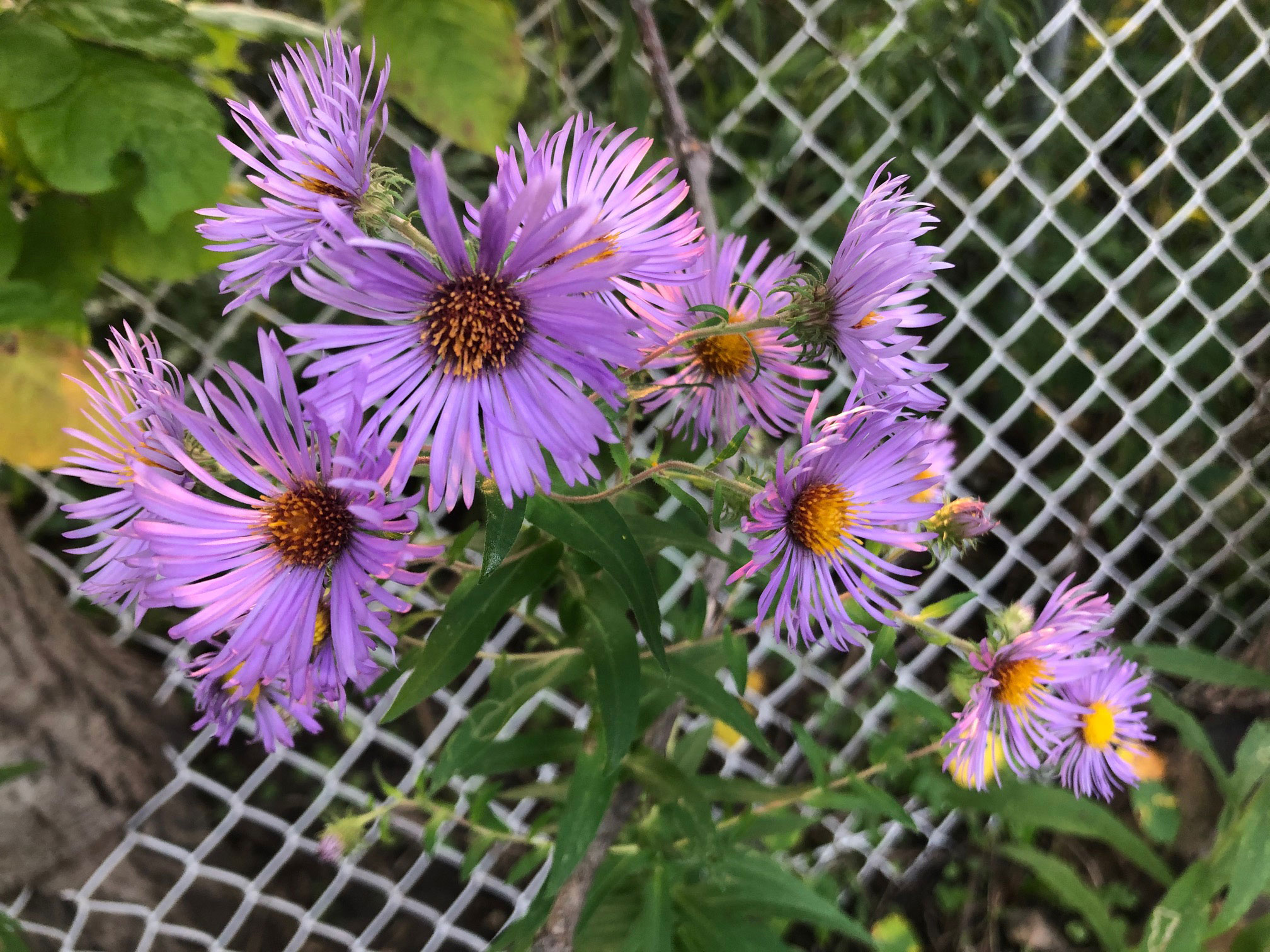Still more asters!