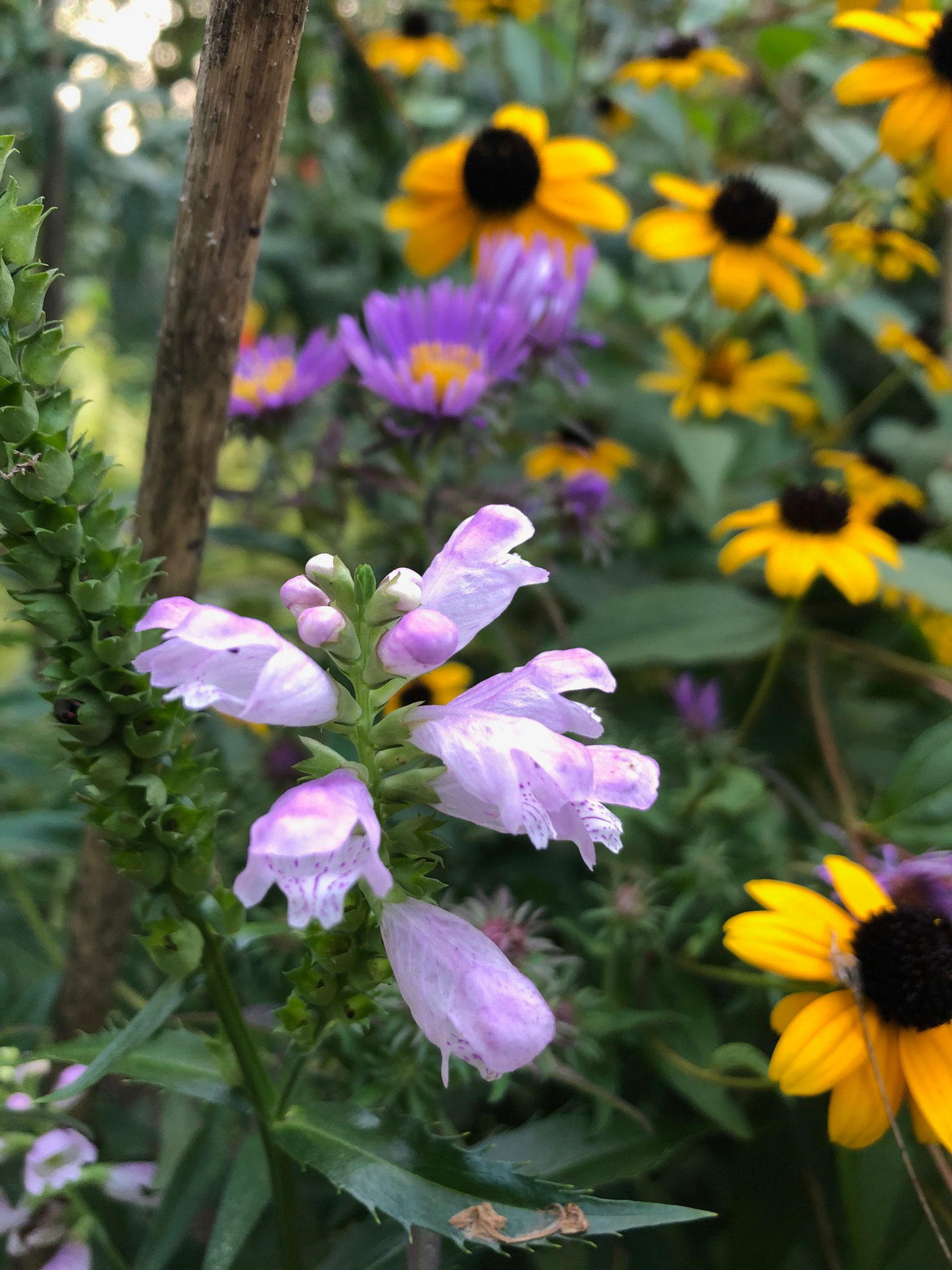 Obedient Plant flower, with asters and black-eyed susans in the background