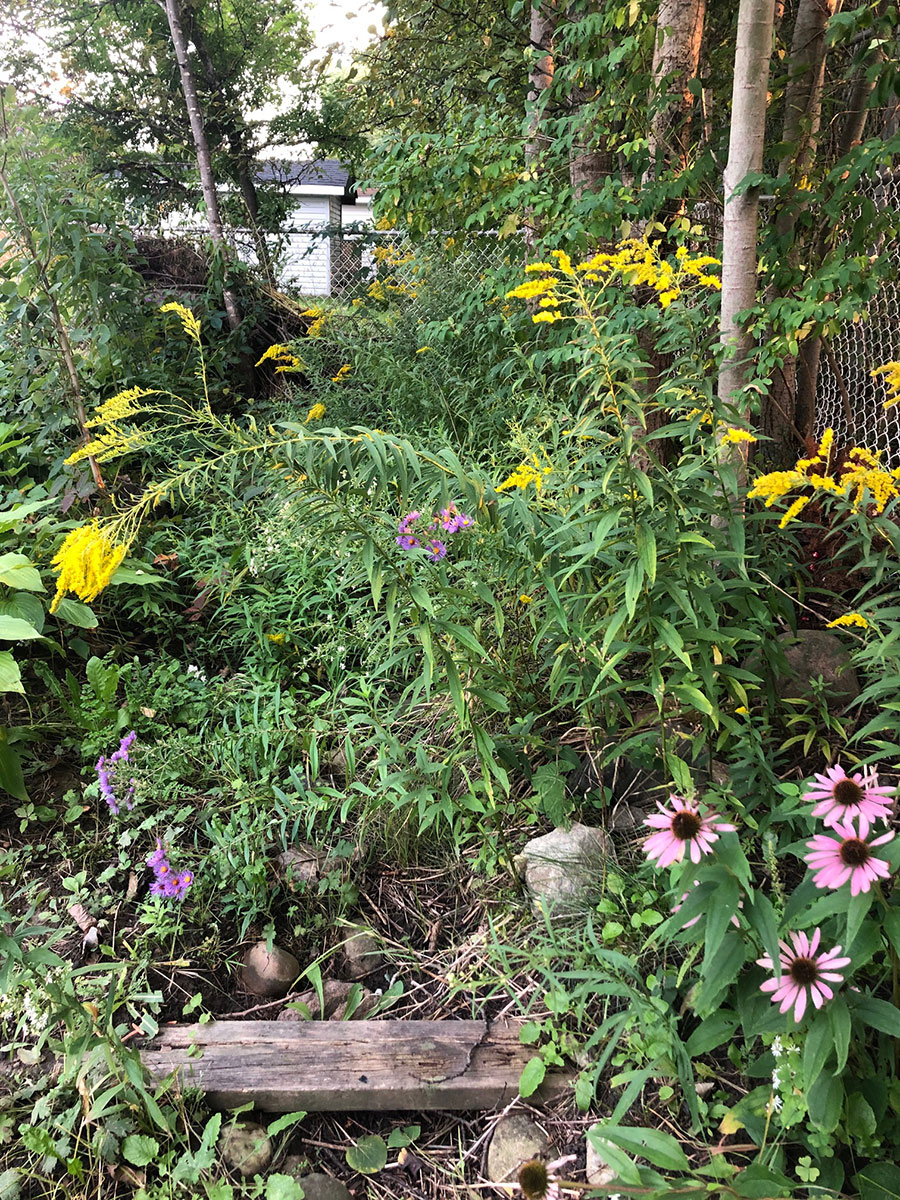 Asters, Echinacea and Goldenrod shown growing near the back fence, along the runoff creek.